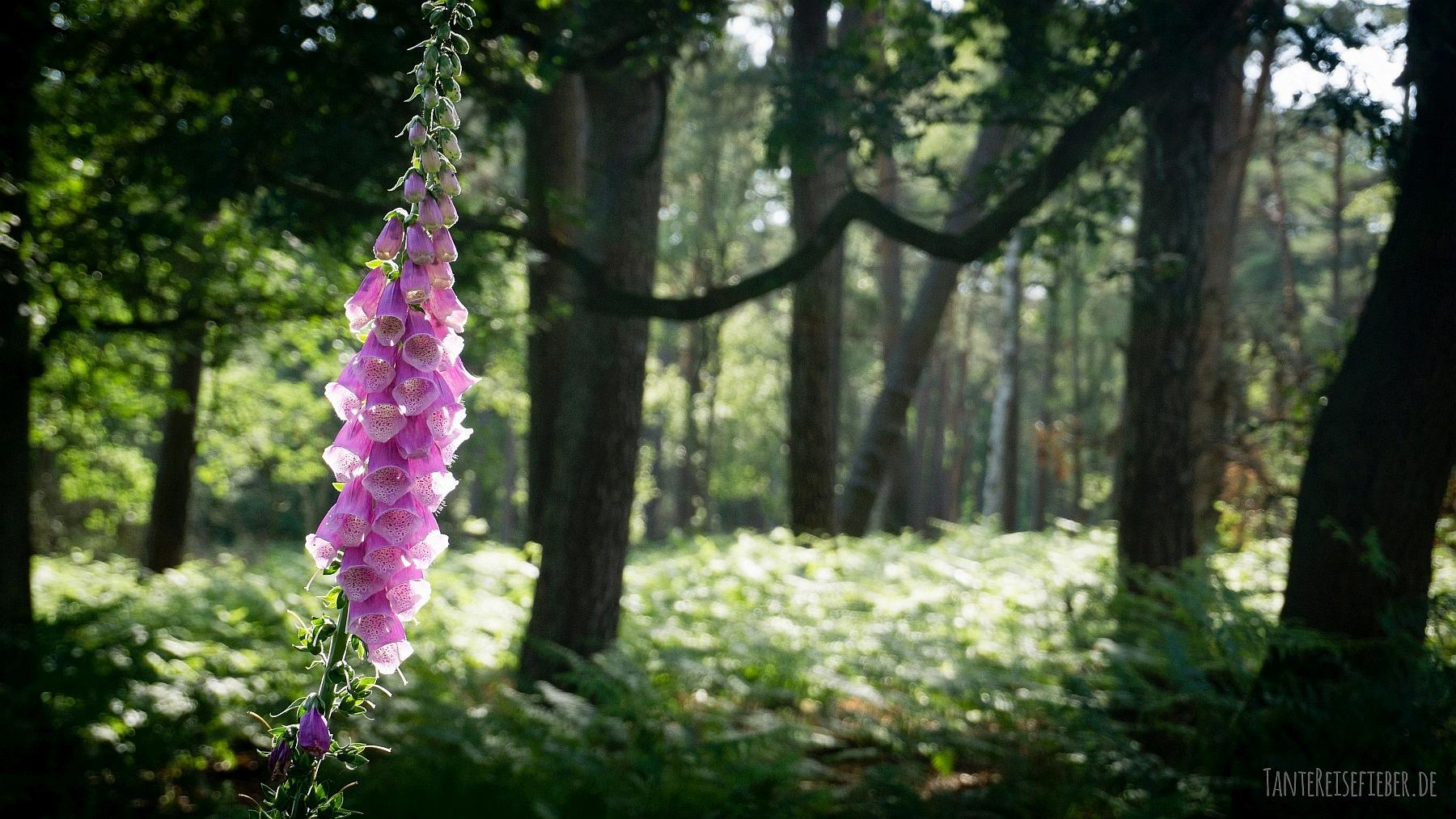 Diersfordter Wald – Hirschkäferroute: Hirschkäfer im Juni beobachten
